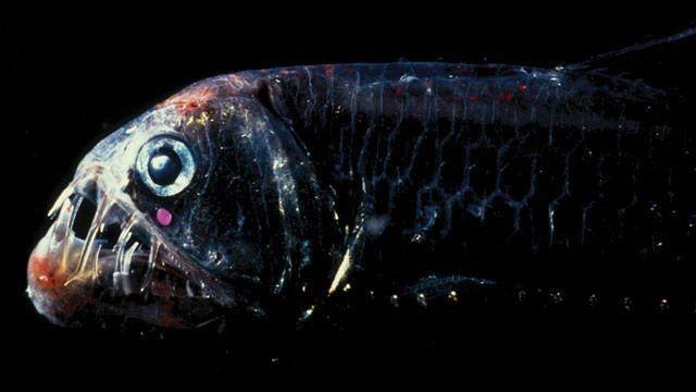 Звичайно, зовнішність у цієї рибки - не найпривабливіша.