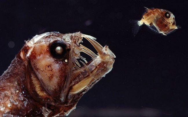 Риба-гадюка - одна з шести представників хауліоди.