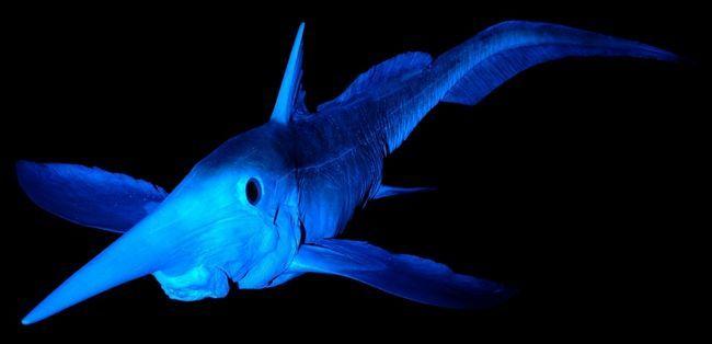 Риба химера і правда більше схожа на міфічну істоту, ніж на мешканця морських глибин