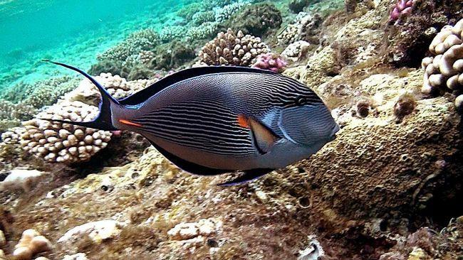 Риба-хірург (Acanthuridae).