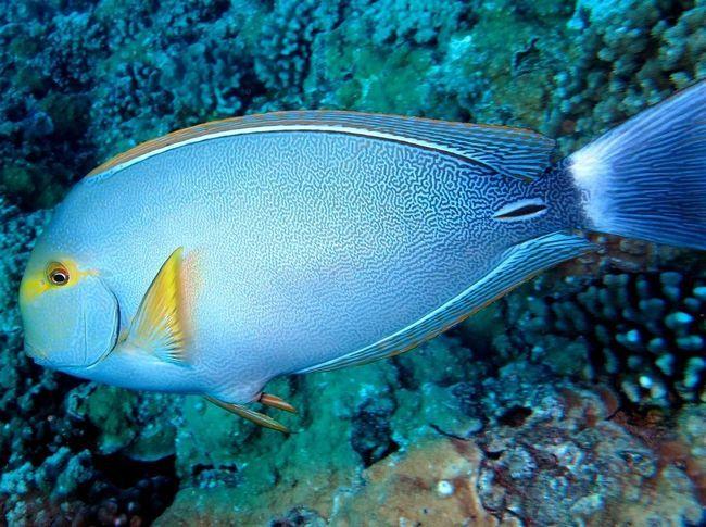 Желтоперого риба-хірург.