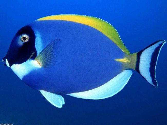 Білогруда риба-хірург.