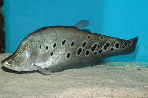 Риба індійський ніж