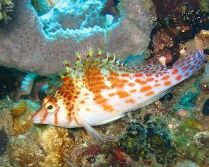 Риба-яструб