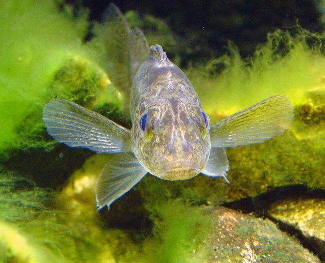 Йорж - риба середніх розмірів.