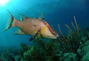 риба Кабан