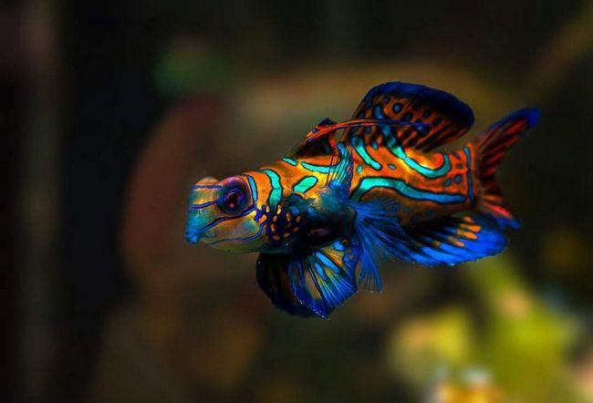 Назва рибок запозичене з історії стародавнього Китаю.