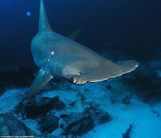 До сих пір не ясно, що послужило толком до розвитку такого дивного будови голови у акули.