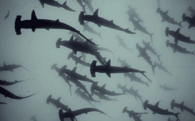 Скупчення акул-молотів.