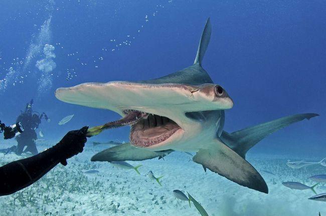 Вельми небезпечне заняття - годування акул з руки.