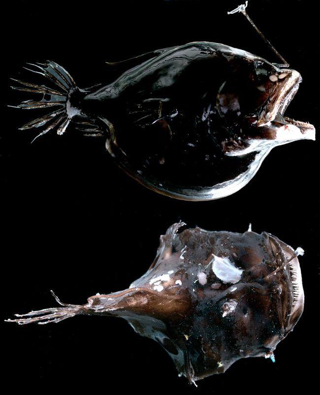 Прібабас на голові у вигляді світиться вудки привертає дрібну рибки і призводить її прямо ... в рот до вудильнику.