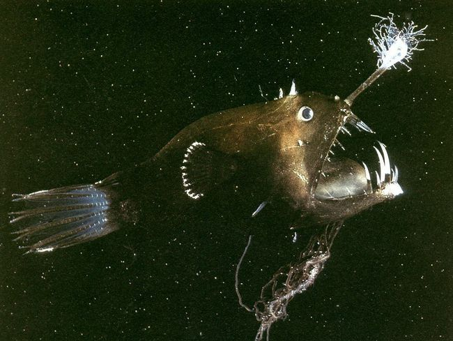Подібний тип полювання притаманний усім видам удільщікових риб.