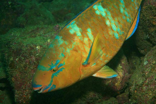 Риба-папуга (Scaridae).