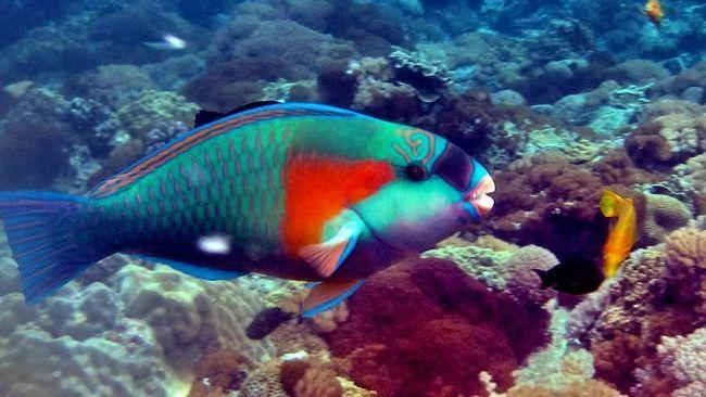 Риба-папуга має різнобарвним забарвленням.