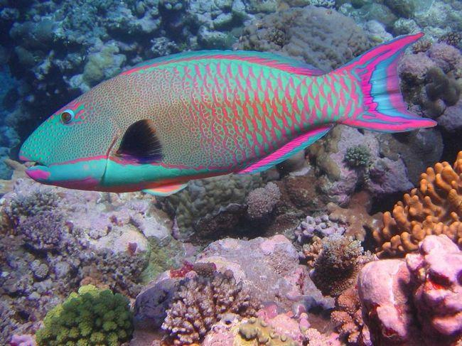 Риба-папуга - санітар коралових рифів.