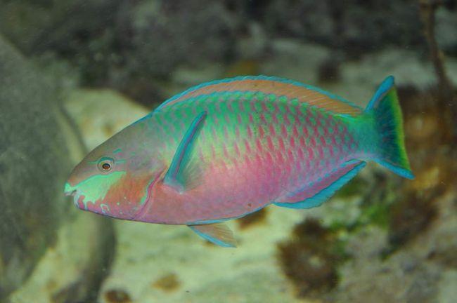 Ця риба має унікальну особливість - вона перетворює камені в пісок.