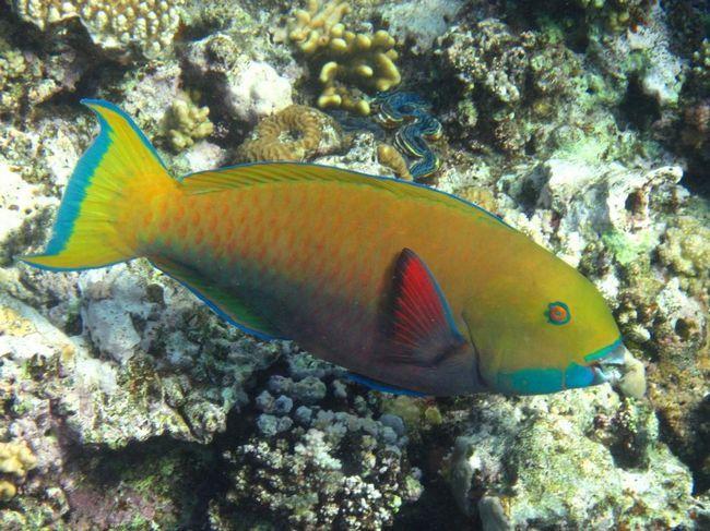 Риби-папуги протягом життя змінюють стать.