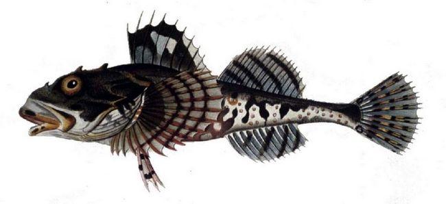 Морський скорпіон (Myoxocephalus scorpius).