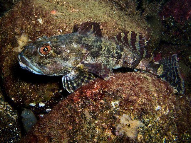 Морські скорпіони мешкають на кам`янистому, піщаному і каламутному дні, на глибині до 50 метрів.