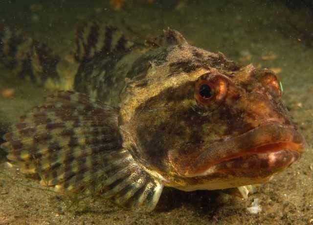 Самець після метання ікри більше, ніж однією самкою, залишається охороняти ікру.