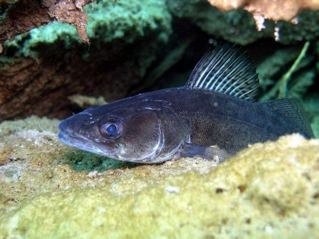 Судак - риба глибоководна.