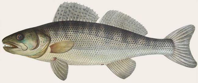 Судак - риба, що має промислову цінність.