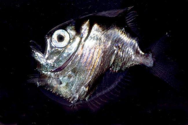 Риба-топірець (Argyropelecus aculeatus).