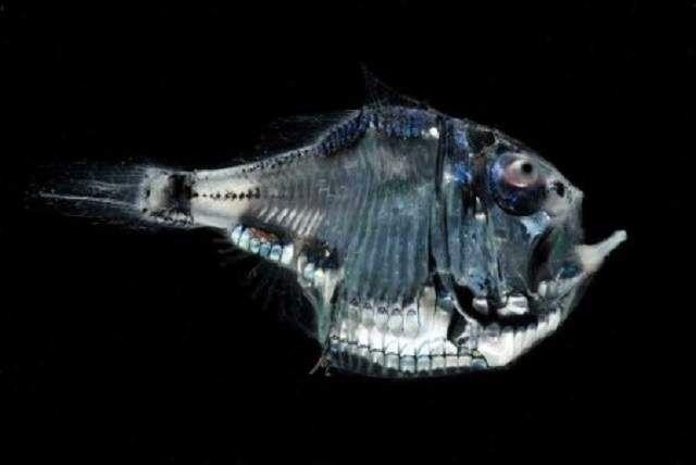 Риба-топірець здатна регулювати силу свого світіння в залежності від того наскільки ярок потрапляє на глибину світло.
