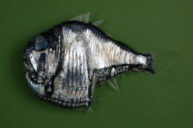 У більшості риб-топірців забарвлення срібляста.