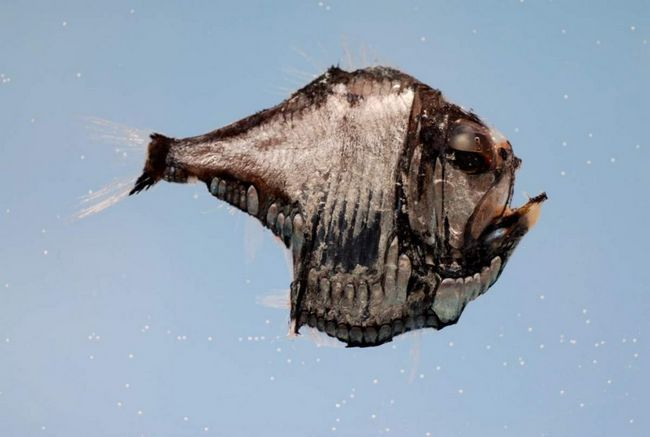 У риб-топірців дуже високе, сильно сплощене з боків тулуб, до кінця хвоста його плавник звужується.