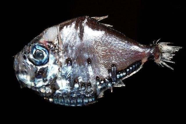 Риби-топірці плавають в темних водах: на великій глибині днем, ближче до поверхні - вночі.
