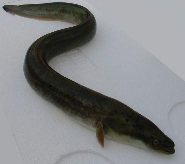Вугор - риба, яку в деяких країнах вважають делікатесом.