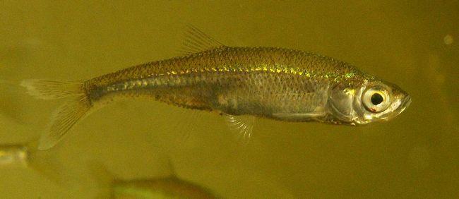 Верхівка (Leucaspius delineatus).