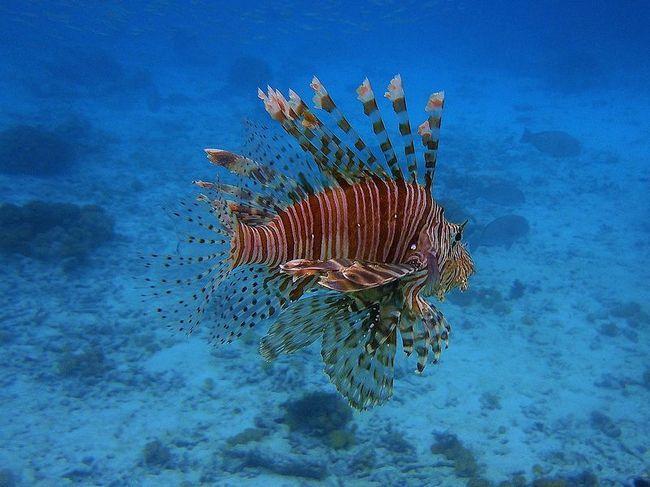 Риба-зебра, або смугаста крилатка (лат. Pterois volitans)