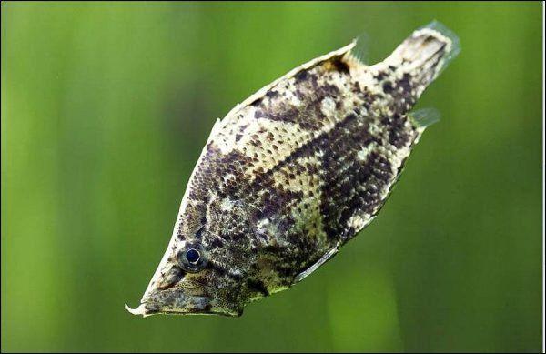 риба-лист (Blattfisch)