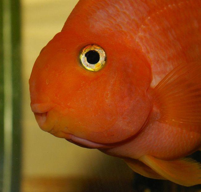 Червоний папуга (риба-папуга) (Red BloodParrot Fish)