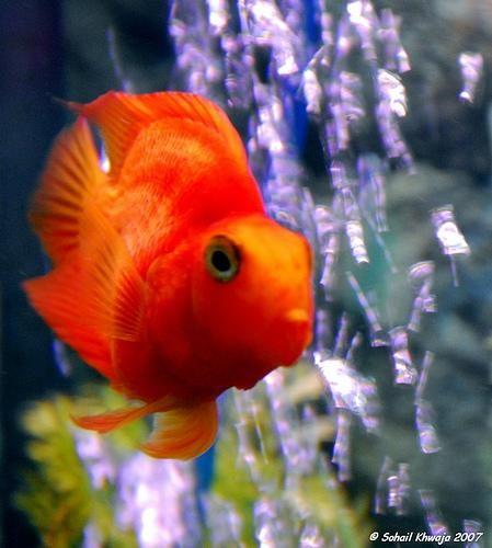 Червоний папуга (риба-папуга) (Red Blood Parrot Fish)