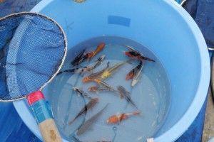 Рибка лежить на дні: причини і що робити