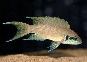 Рибка прицесса бурунді