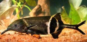 найбільш дивовижною акваріумний рибкою є рибка-слоник