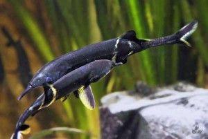 Риба слон - найпопулярніший вид сімейства клюворилих з дельти Нігера.