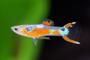 Рибки пецілія: види, зміст і догляд