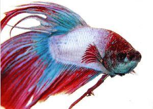 Рибки-півники: догляд та утримання