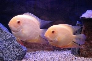 Рибки северум - маленькі хижаки акваріума