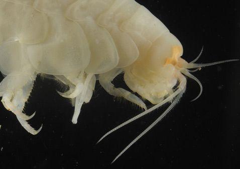 Це живе ракоподібні на глибині восьми кілометрів чимало здивувало біологів, навіть не стільки своєю присутністю, скільки тим, що плавало в оточенні безлічі побратимів (фото University of Aberdeen).