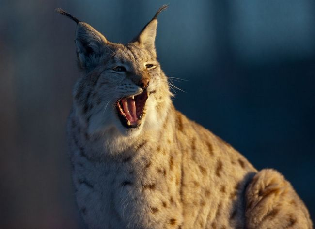 Канадська рись (Lynx canadensis)