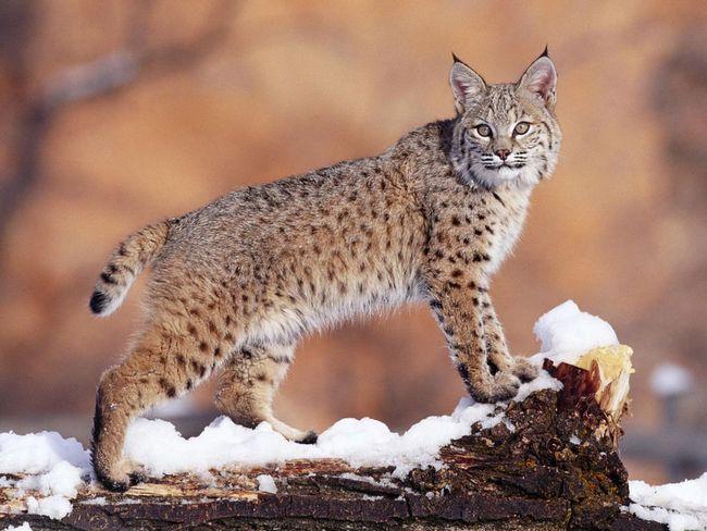 Руда рись (Lynx rufus)