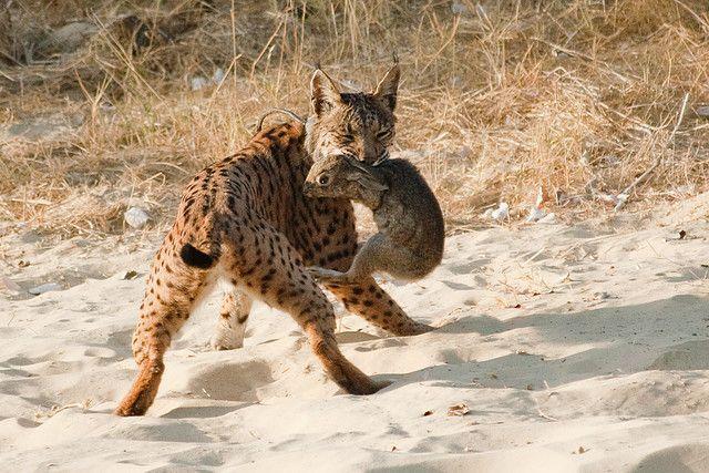 Іспанська рись (Lynx pardinus) зловила кролика.