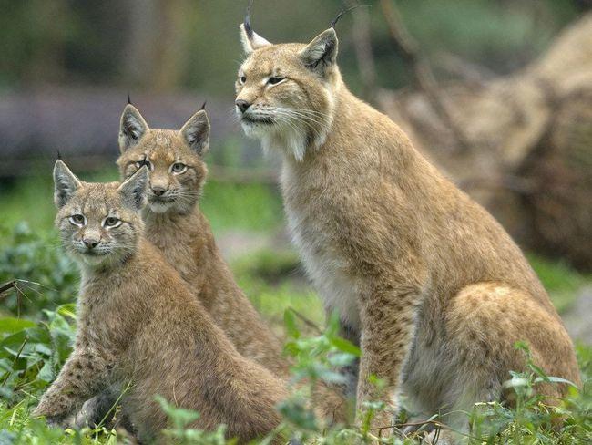 Самка звичайної рисі (Lynx lynx) з молодняком