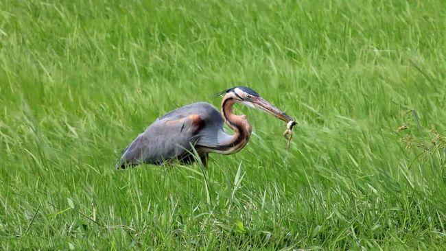 Завдяки довгій шиї і дзьоба, рудим чаплям вдається швидко ловити своїх жертв.